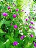 Blommar de purpurfärgade royaltyfri foto