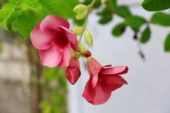 Blommar den övre sikten för slutet av ursnygga rosa färger isolerat fotografering för bildbyråer