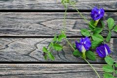 Blommar den blåa ärtan för tre fjäril på träbakgrund med kopieringsutrymme royaltyfri foto