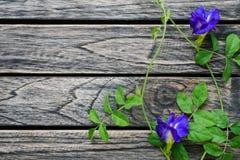 Blommar den blåa ärtan för två fjäril träbakgrund med kopieringsutrymme fotografering för bildbyråer