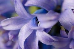 blommar den blåa hyacintet royaltyfria foton