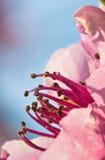 Blommar den färgrika rosa färgen för vårnektarinen pistillträdet som blommar i mjukt solljus Arkivbild