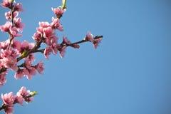 Blommar den färgrika rosa färgen för vårnektarinen trädet som blommar i blå himmel Arkivbilder