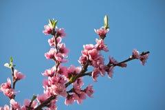 Blommar den färgrika rosa färgen för vårnektarinen trädet som blommar i blå himmel Royaltyfria Foton