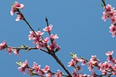 Blommar den färgrika rosa färgen för vårnektarinen trädet som blommar i blå himmel Royaltyfri Fotografi
