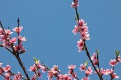 Blommar den färgrika rosa färgen för vårnektarinen trädet som blommar i blå himmel Arkivfoton