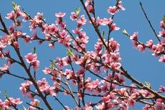 Blommar den färgrika rosa färgen för vårnektarinen trädet som blommar i blå himmel Arkivfoto