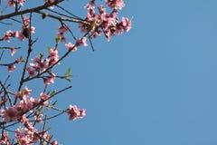Blommar den färgrika rosa färgen för vårnektarinen trädet som blommar i blå himmel Arkivbild