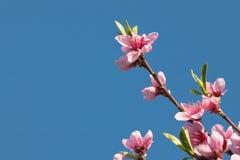 Blommar den färgrika rosa färgen för vårnektarinen trädet som blommar i blå himmel Royaltyfri Foto