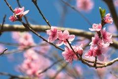 Blommar den färgrika rosa färgen för vårnektarinen trädet som blommar i blå himmel Fotografering för Bildbyråer