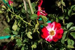 Blommar den färgrika rosen för closeupen på trädet, söta förälskelsebegrepp, romanska begrepp, makrobilder Fotografering för Bildbyråer