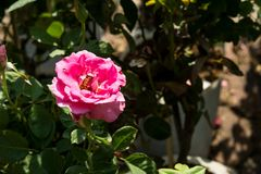 Blommar den färgrika rosen för closeupen på trädet, söta förälskelsebegrepp, romanska begrepp, makrobilder Royaltyfri Bild