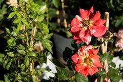 Blommar den färgrika rosen för closeupen på trädet, söta förälskelsebegrepp, romanska begrepp, makrobilder Arkivbilder