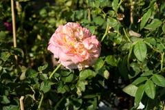Blommar den färgrika rosen för closeupen på trädet, söta förälskelsebegrepp, romanska begrepp, makrobilder Arkivfoto