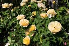 Blommar den färgrika rosen för closeupen på trädet, söta förälskelsebegrepp, romanska begrepp, makrobilder Royaltyfri Foto