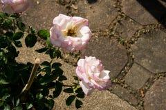 Blommar den färgrika rosen för closeupen på trädet, söta förälskelsebegrepp, romanska begrepp, makrobilder Arkivbild