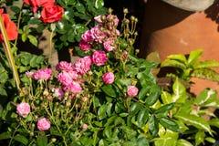 Blommar den färgrika rosen för closeupen på trädet, söta förälskelsebegrepp, romanska begrepp, makrobilder Royaltyfria Bilder