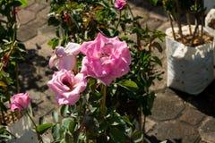 Blommar den färgrika rosen för closeupen på trädet, söta förälskelsebegrepp, romanska begrepp, makrobilder Royaltyfri Fotografi