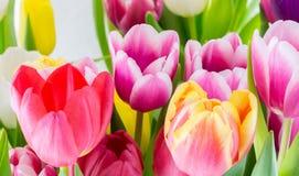Blommar den färgrika våren för tulpan rosa röd guling och gräsplan Royaltyfri Bild