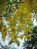 blommar den guld- duschen Arkivfoton