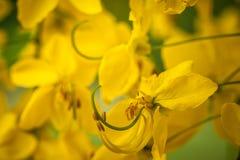 blommar den guld- duschen fotografering för bildbyråer