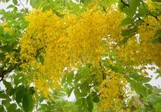 blommar den guld- duschtreen royaltyfria bilder