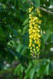 blommar den guld- duschtreen Royaltyfri Fotografi
