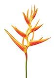 Blommar den guld- facklan för den Heliconia psittacorumen, tropiska blommor som isoleras på vit bakgrund Royaltyfria Bilder