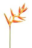 Blommar den guld- facklan för den Heliconia psittacorumen, tropiska blommor som isoleras på vit bakgrund Fotografering för Bildbyråer