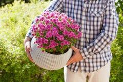 Blommar den hållande krysantemumet för manträdgårdsmästaren i blomkruka i garde royaltyfri fotografi