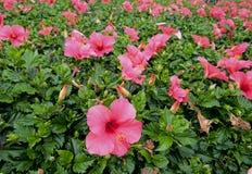 blommar den hawaii hibiskusen Arkivbild
