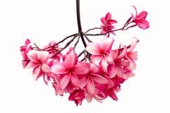 blommar den isolerade frangipanien Arkivfoto