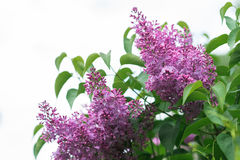 blommar den lila fjädern Royaltyfri Fotografi
