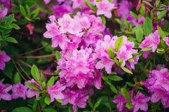 Blommar den ljusa härliga cerise rosa färgen för pelargoniapelargongruppen royaltyfri foto