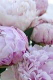 Blommar den nya gruppen för closeupen av rosa pioner, pion Kort för att gifta sig Arkivfoto