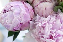 Blommar den nya gruppen för closeupen av rosa pioner, pion Kort för att gifta sig Arkivfoton