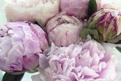 Blommar den nya gruppen för closeupen av rosa pioner, pion Kort för att gifta sig Royaltyfria Foton