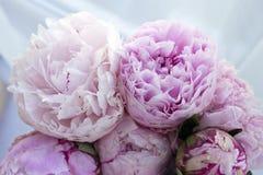 Blommar den nya gruppen för closeupen av rosa pioner, pion Kort för att gifta sig Arkivbild