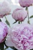 Blommar den nya gruppen för closeupen av rosa pioner, pion Kort för att gifta sig Fotografering för Bildbyråer