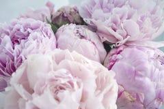 Blommar den nya gruppen för closeupen av rosa pioner, pion Kort för att gifta sig Royaltyfri Fotografi