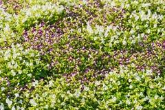 blommar den purpura fjädern Royaltyfri Bild