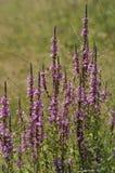 blommar den purpura fjädern Arkivfoto