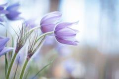 blommar den purpura fjädern Arkivbild
