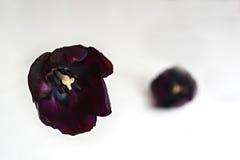 blommar den purpura tulpan Arkivbild