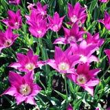 blommar den purpura tulpan för fotostruktur för abstrakt bakgrund homogen tappning closeup Royaltyfri Fotografi
