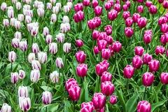 blommar den purpura tulpan P! tillflykt Keukenhof, trädgård i Holland Arkivbilder