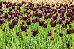 blommar den purpura tulpan Parkera Keukenhof, trädgård i Holland Arkivbild