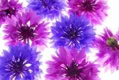 blommar den purpura violeten royaltyfri foto