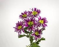 Blommar den purpurfärgade krysantemumbuketten på vit bakgrund arkivbilder