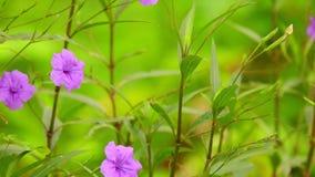 Blommar den purpurfärgade lösa trädgården för den Ruellia tuberosaen panorera kameran lager videofilmer